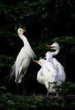семья egret Стоковое Изображение RF