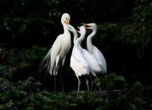 семья egret Стоковое фото RF
