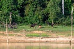 Семья Gaur ест траву в лесе озером живая природа saeng khlong sangtuary стоковые изображения rf