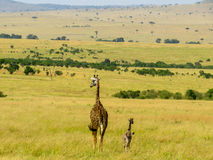 Семья Giraff Стоковые Фото