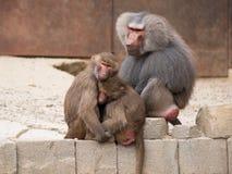 Семья hamadryas павиана или papio Hamadryas Стоковое Изображение RF