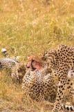 Семья heetah ¡ Ð около добычи masai Кении mara стоковые изображения