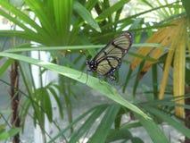 Семья Ithomiidae бабочки Стоковое Изображение RF