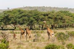 Семья Jiraffe в африканском кусте саванны Стоковая Фотография