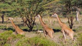 Семья Jiraffe в африканском кусте саванны Стоковое Изображение