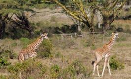 Семья Jiraffe в африканском кусте саванны Стоковые Изображения RF