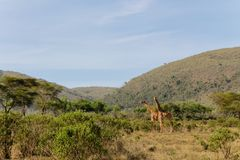 Семья Jiraffe в африканском кусте саванны Стоковое Фото