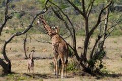 Семья Jiraffe в африканском кусте саванны Стоковые Фотографии RF