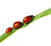 Семья ladybugs на зеленых лист Стоковая Фотография