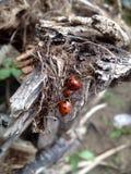 Семья Ladybugs Стоковая Фотография