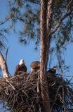 Семья leucocephalus Haliaeetus 2 белоголовых орланов parents с t Стоковая Фотография RF