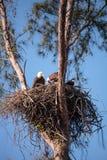 Семья leucocephalus Haliaeetus 2 белоголовых орланов parents с t Стоковая Фотография