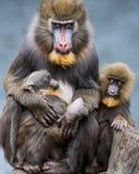 Семья Mandrill II Стоковое Изображение