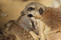 Семья Meerkat лежит совместно Стоковые Изображения