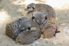 Семья Meerkat лежит совместно Стоковое Изображение RF