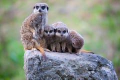 Семья Meerkat Стоковое Изображение RF