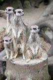 Семья meerkat Стоковые Фотографии RF
