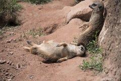 Семья meerkats или suricats Twoo ленивая Стоковая Фотография RF