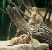 Семья Meerkats сидит на песке Стоковые Изображения