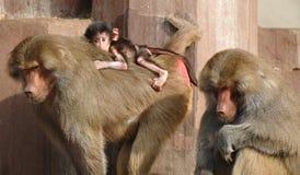 Семья Monky Стоковое Изображение RF