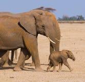 семья s слона Стоковое Фото