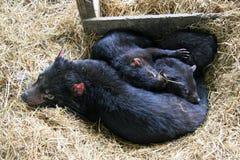 Семья Tasmanian дьявола Стоковые Фотографии RF