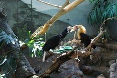 Семья toucans подавая на ринве в aviary для птиц Стоковое Изображение