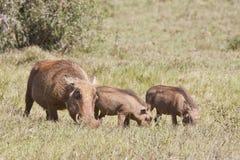 Семья Warthog пася траву Стоковые Изображения