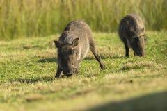 Семья Warthogs Стоковые Изображения