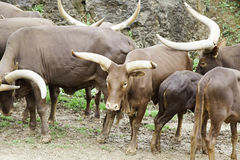 Семья watusi животных Стоковые Фотографии RF
