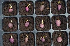 Семя ладони в плантации Стоковые Изображения RF