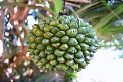 Семя ладони с пальмами Стоковые Изображения