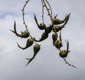 Семя в парке, Австралия дерева Стоковые Изображения