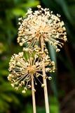 семя горы чеснока Стоковое Фото