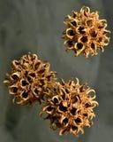 Семя лещины ведьмы Стоковое фото RF