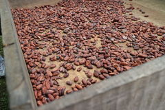 Семя какао в коробке в подготовке для того чтобы сделать шоколад Стоковые Изображения