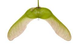 семя клена Стоковое фото RF