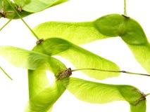 семя клена Стоковое Фото
