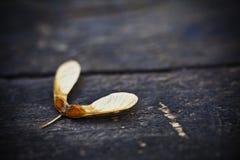 Семя клена Стоковые Фотографии RF