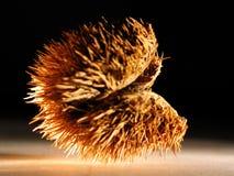 семя кожуха Стоковые Изображения RF