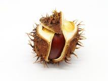 Семя конского каштана в корке стоковое изображение