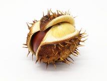 Семя конского каштана в корке стоковая фотография