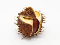 Семя конского каштана в корке стоковая фотография rf