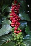 семя кофе Стоковое фото RF