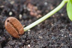 семя кофе Стоковая Фотография RF