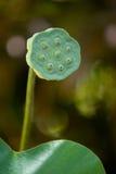 семя лотоса Стоковое фото RF