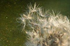 семя макроса одуванчика стоковое изображение