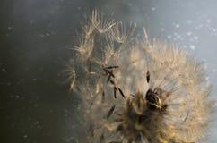 семя макроса одуванчика стоковое фото rf