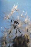 семя макроса одуванчика стоковое изображение rf