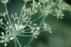 Семя на заводе фенхеля Стоковое фото RF